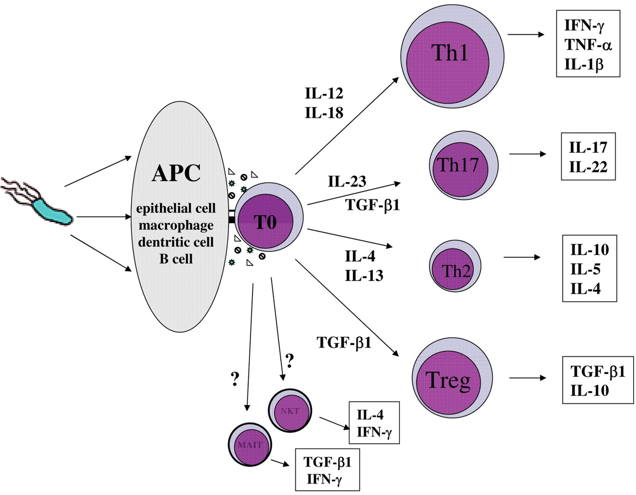 role of regulatory t cells in h pylori induced gastritis and