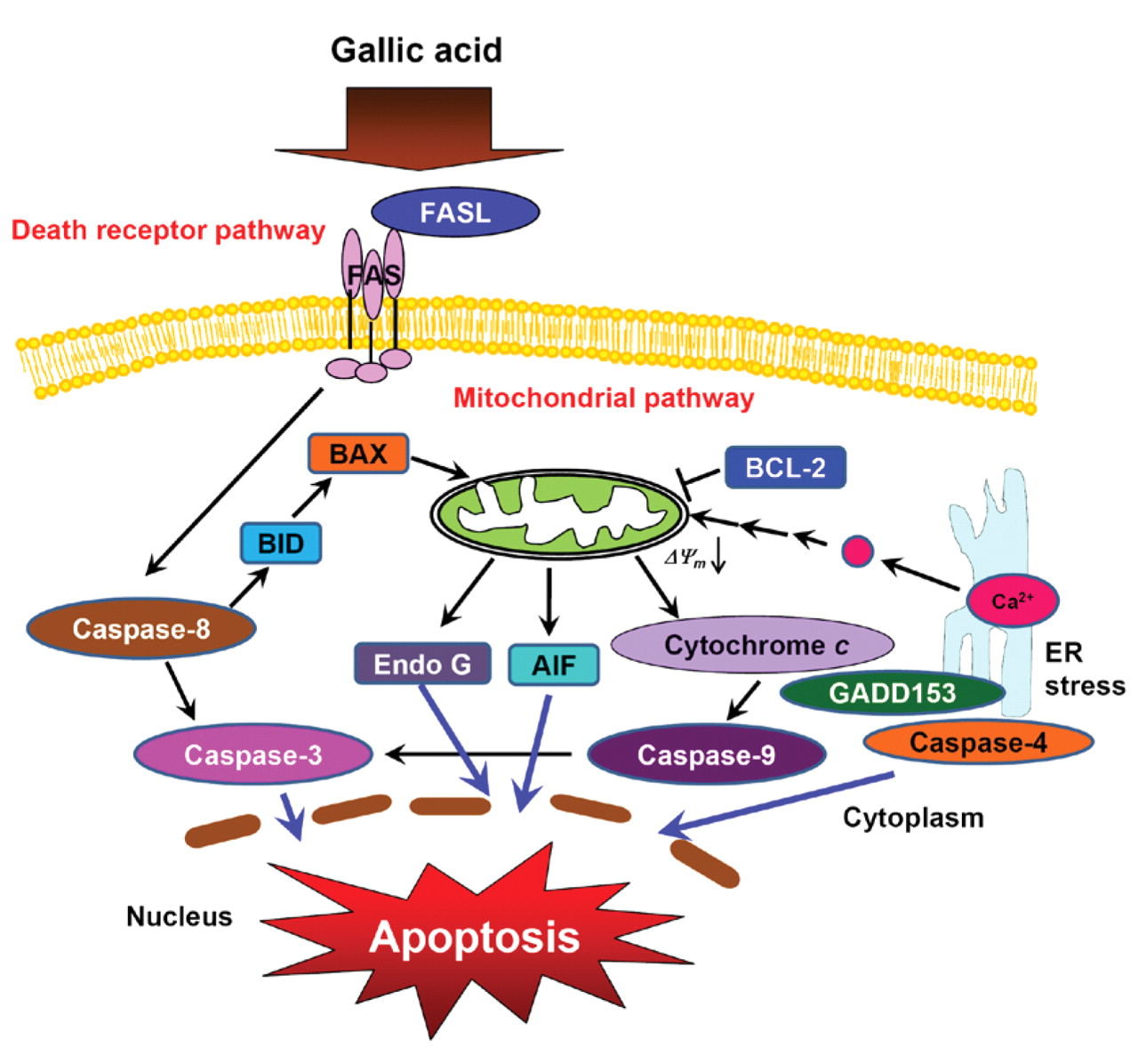 gallic acid induces g0 g1 phase arrest and apoptosis in human