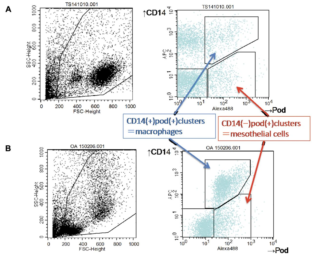 Flow Cytometric Analysis Of Ovarian Cancer Ascites Response Of Mesothelial Cells And Macrophages To Cancer
