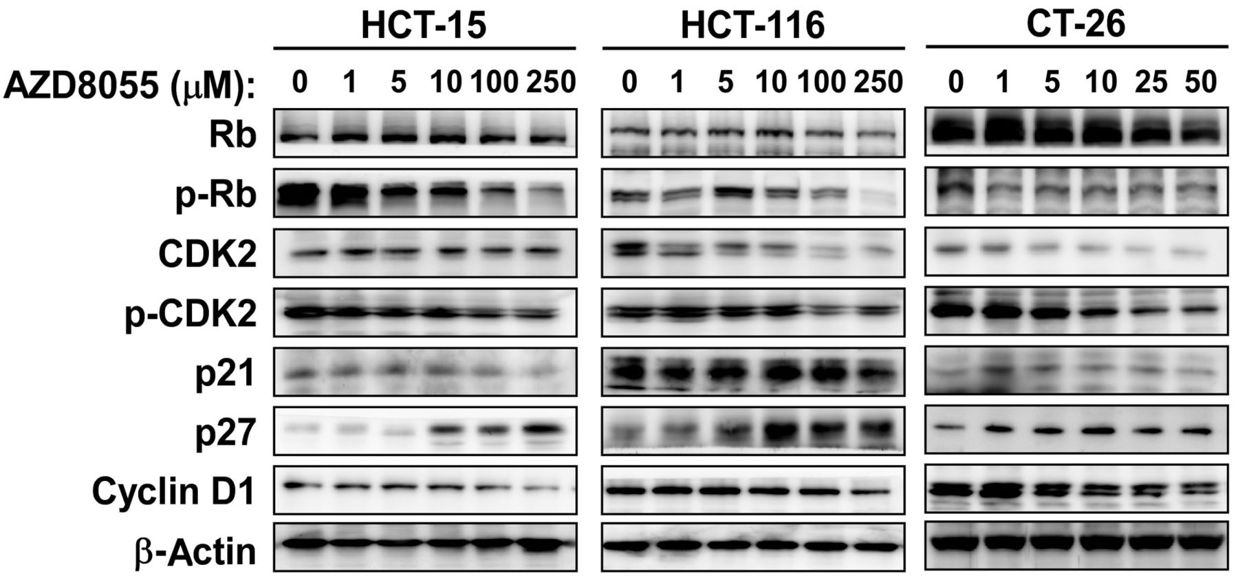 Azd8055 Exerts Antitumor Effects On Colon Cancer Cells By Inhibiting Mtor And Cell Cycle Progression